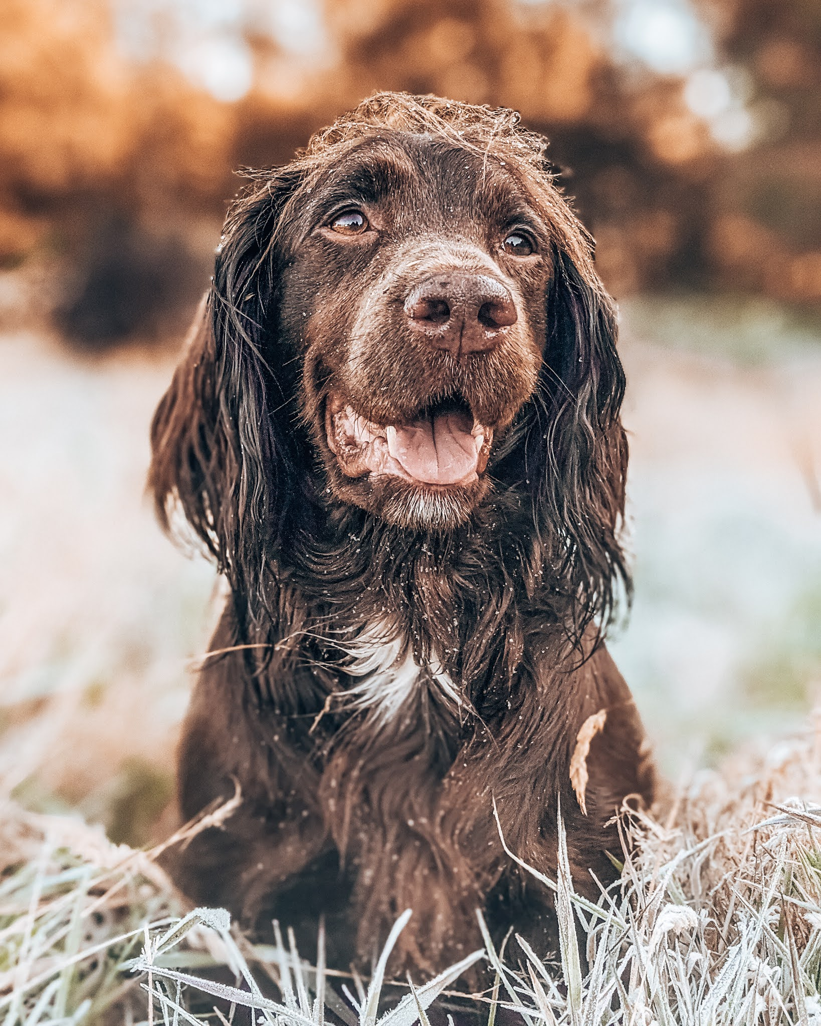 frost morning cocker spaniel gun dog liquid grain liquidgrain