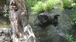 perro de oro rastreador ruidoso