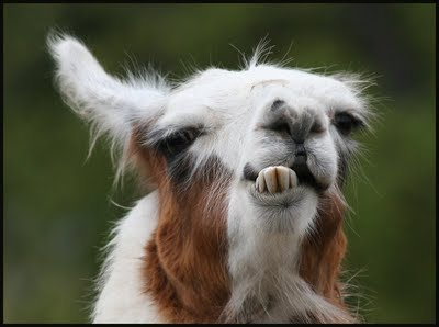 Funny goat face...