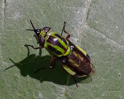 Mosca soldado (Hedriodiscus pulcher)
