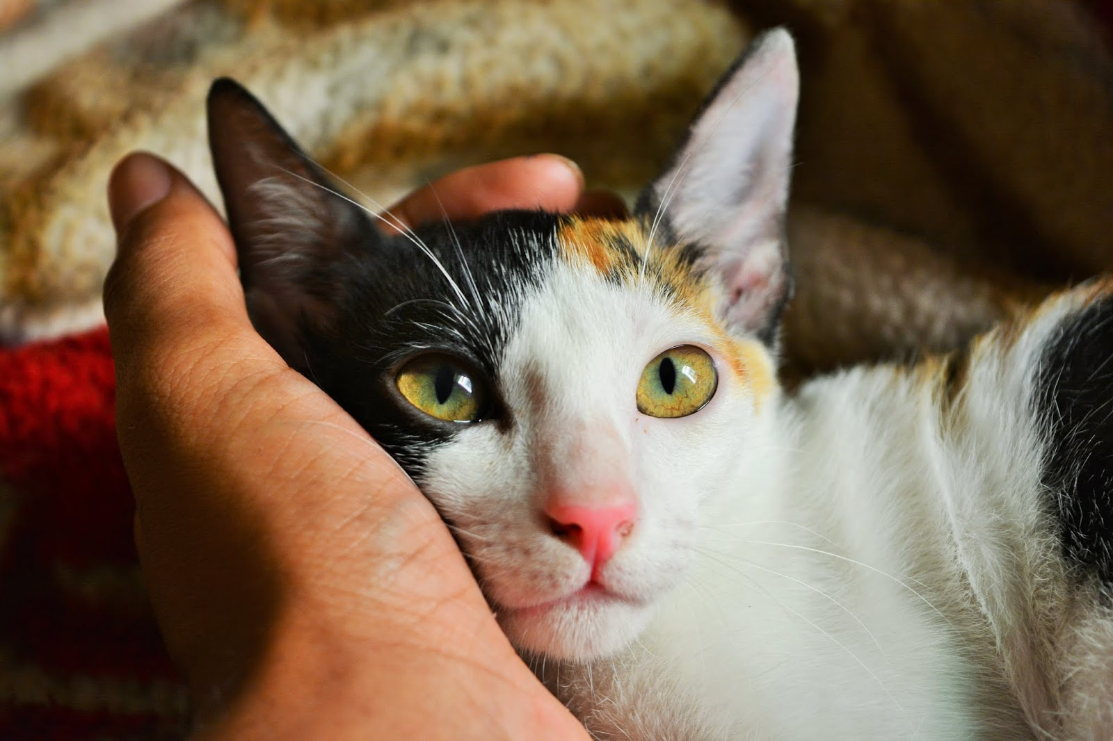 person-s-left-hand-holding-calico-cat,cat images