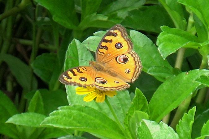 Dlium Peacock pansy (Junonia almana)