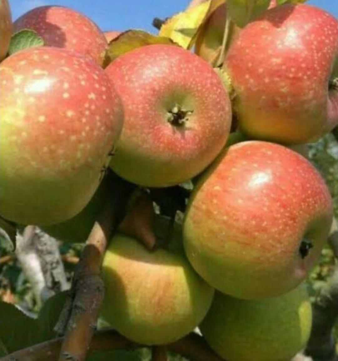 Stok banyak! bibit tanaman buah apel malang manalagi hasil okulasi cepat berbuah Kota Kediri #jual bibit buah genjah