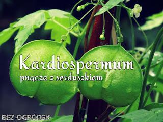 jak uprawiać kardiospermum
