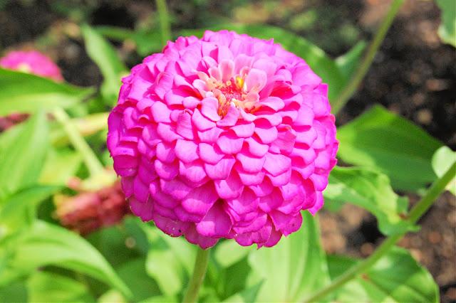 flower, farming, zinnias, athomewithjemma