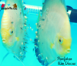 Pengembangbiakan Ikan Discus