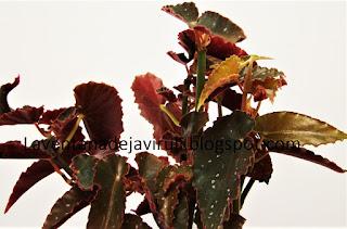 cuidados-begonia-pinafore
