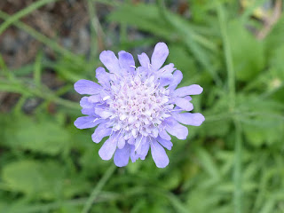 Scabieuse colombaire - Scabiosa columbaria