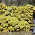 Distribuição de mudas de palma contribui para a sustentabilidade do rebanho da agricultura familiar