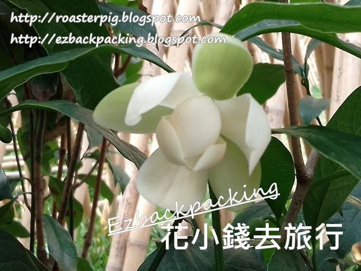 香港夜合花