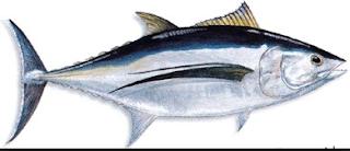 merupakan jenis ikan konsumsi air maritim Kabar Terbaru- HARGA IKAN TUNA DI JEPANG