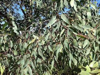 Eucalyptus spp., Eurcalypto