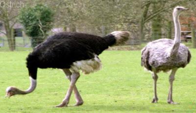 ostrich, ostrich wild animal