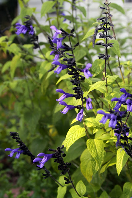 black and blue salvia, garden, blue flowers, Anne Butera, My Giant Strawberry