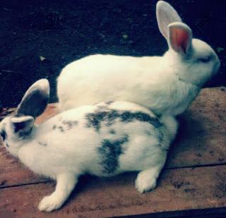 perbaedaan kelinci jantan terlihat lebih kecil dari betina