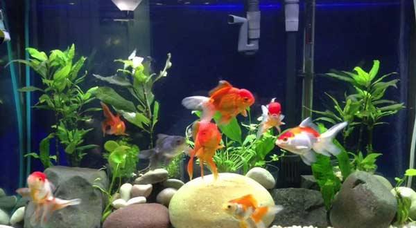 Cara Merawat Ikan Mas Koki di Akuarium Agar Tidak Cepat Mati