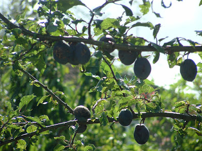 Close up of plums growing on a tree