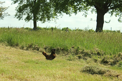 Polish black-laced gold Polish hen