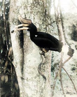 burung rangkong hornbill anthracoceros malayanus di kota pematangsiantar
