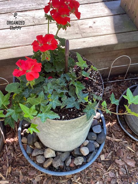 Photo of seed geraniums & an English Ivy