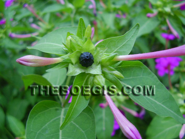 The benefit of four o'clock flower for body health