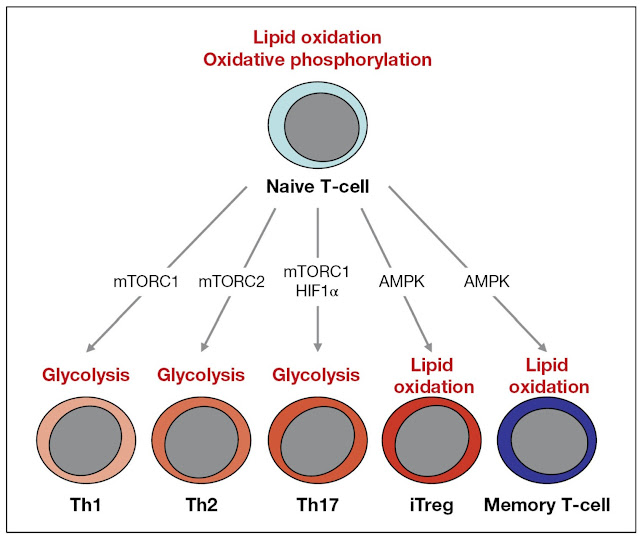 Regulation Of T‐Cell Differentiation And Metabolism By Transcription Factors
