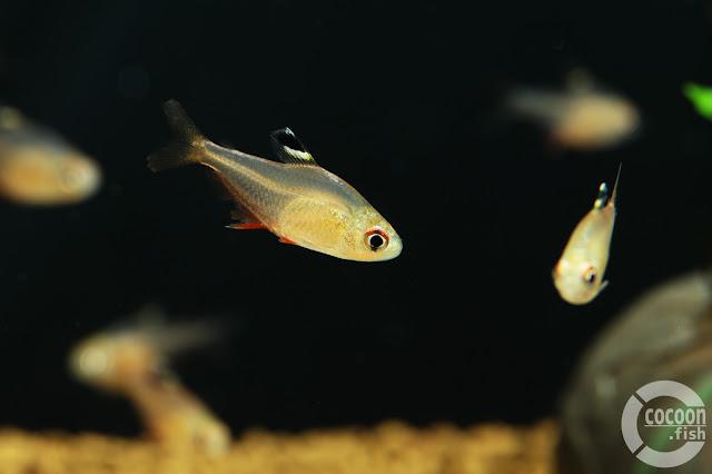 Hyphessobrycon sp. (Rio Vaupes)
