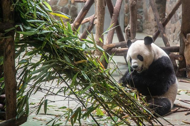 19. Osos Panda