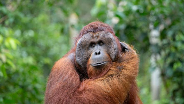 Re-inventing the hook: Orangutans spontaneously bend straight wires into hooks to fish for food