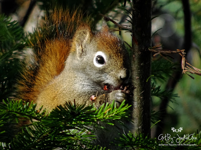 Cute Squirrel Eating A Spruce Cone 6 Photos + Video
