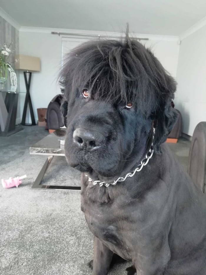 25 Adorable Pictures Of Newfoundlands That Are Shockingly Massive