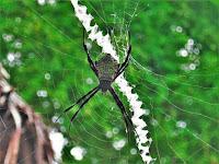 argioe spider of the ohilippines