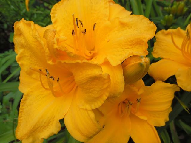 żółte kwiaty liliowca