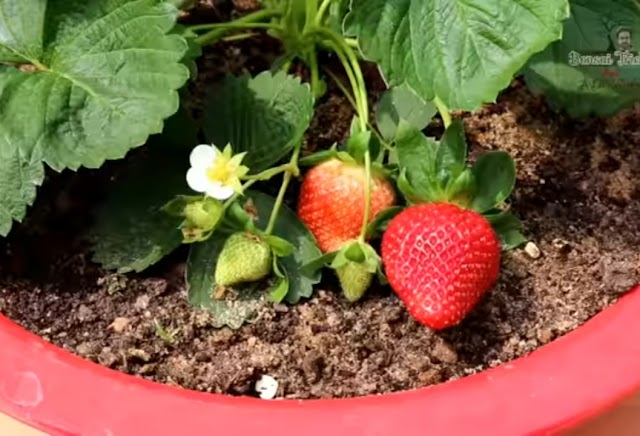 How to grow strawberries Plants in pot Step by Step