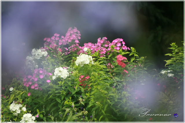 późne lato,late summer odmiany hortensji bukietowych, hydrangea Anbell. Lime light, Grandi flora, Vanille freze, floksy, phlox, języczka, nachyłki, rudbekia