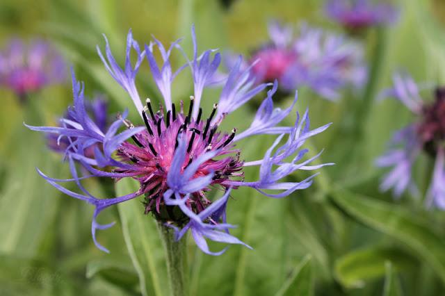 Flockenblume mit blauer Blüte