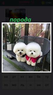 две маленькие собачки белого цвета сидят на скамейке с разными ошейниками