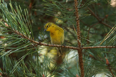 Photo of a Pine Warbler in a pine tree