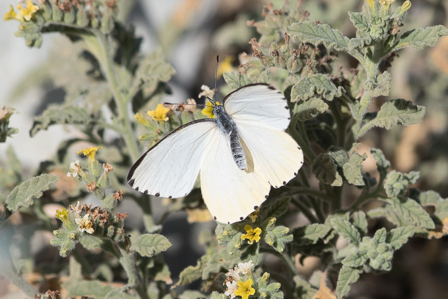 Arabian Mistletoe White