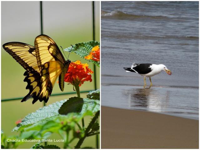 Mariposa en la lantana / Gaviota alimentándose en la playa - Chacra Educativa Santa Lucía