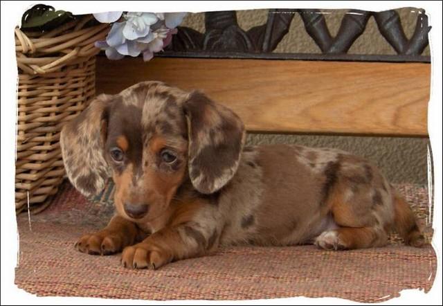 Miniature Dapple Dachshund Puppies For Sale In Nc