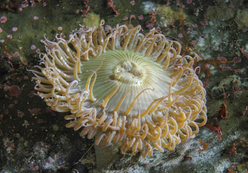 Deniz laleleri karasal çiçekler hakkında bilgi