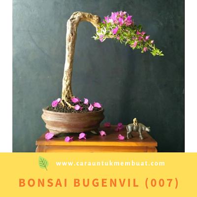Bonsai Bugenvil (007)