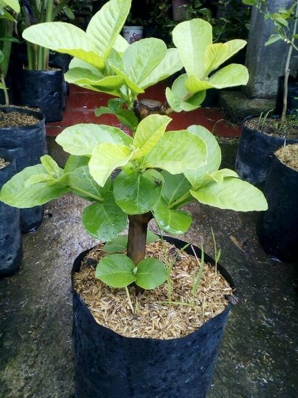 Bibit tanaman buah jambu kristal putih tanpa biji cangkok Kalimantan Barat