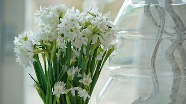 Narcissus papyraceus (narciso blanco), un narciso mediterráneo muy apreciado por su cultivo interior en invierno
