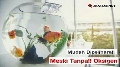 ikan hias mudah dipelihara tanpa oksigen
