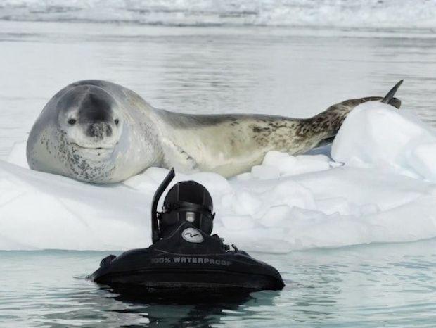 Fotógrafo descreve encontro perigoso com uma foca-leopardo na Antártica