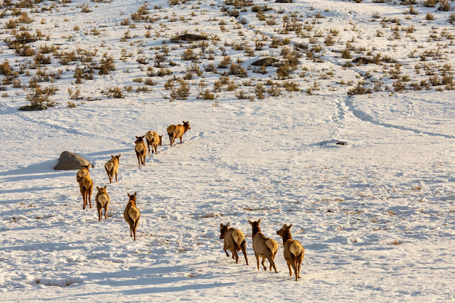 migrating elk
