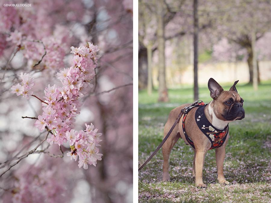 Hanami Besuch bei den Kirschbäume im Schwetzinger Schlossgarten mit Hund