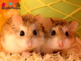 9 Cara Merawat Hamster Supaya Tumbuh Sehat Dan Tidak Mudah Mati Blogdaffa Com